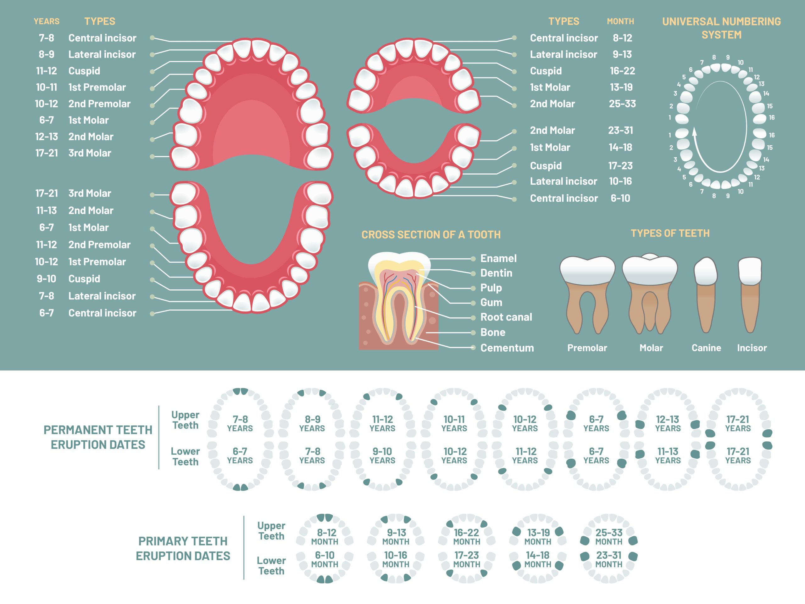 Sets of teeth scaled